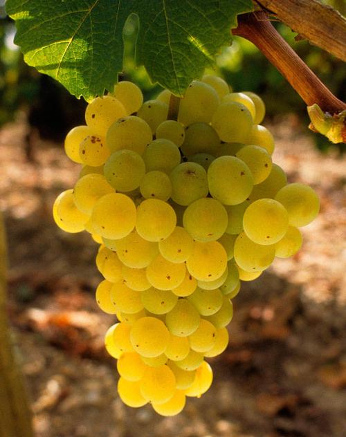 Sauvignon-Blanc_i1140