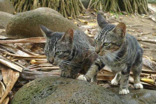 munchkin cat images